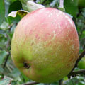 Fruit Trees: Apple trees, (Hereford 1899) Sturmer Pippin X Ribston Pippin