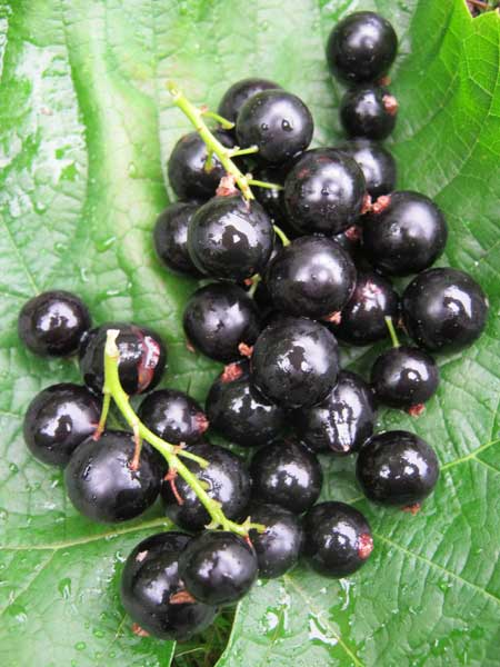 Buy Blackcurrant Bush