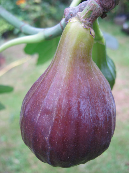 Buy Fig Trees From Carrob Growers Fig Brown Turkey Fig
