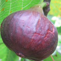 Fruit Trees: Fig trees,
