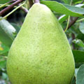 Fruit Trees: Pear trees, syn. DELWINOR FERTILIA