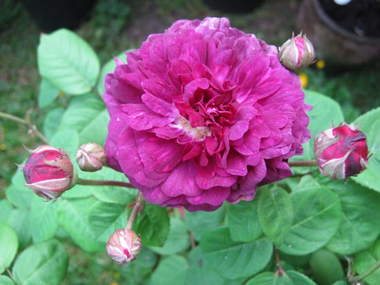 Specialist Rose Growers Shrub Roses Alba Bourbon