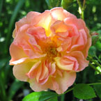 Heritage roses available from Carrob Growers
