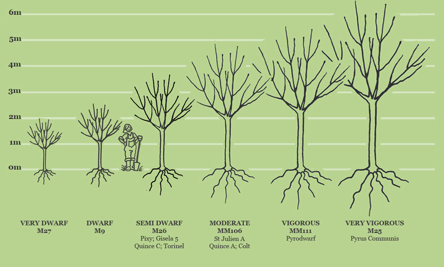 Fruit tree sizes and rootstocks available from Carrob Growers, Caroline and Robert Boyle, Monmouth, Monmouthshire